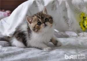 a_猫咪脂肪肝的病因分析-猫咪常见病[新闻]