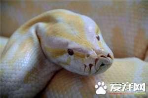 a_黄金蟒吃什么 黄金蟒主要以哺乳动物为食物[新闻]